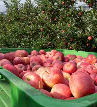 https://www.obst-fuchs.at/data/image/thumpnail/image.php?image=183/obstbau_fuchs_apfel_ernte_article_3428_1.jpg&width=400