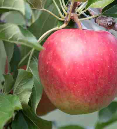 http://www.obst-fuchs.at/data/image/thumpnail/image.php?image=183/obstbau_fuchs_article_3417_1.jpg&width=400